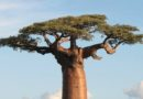 """La lezione di vita di Pietro Calabrese: 'L'albero dei mille anni' e la """"vita all'improvviso"""""""